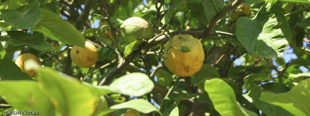 The difficulty of growing lemons in Italy