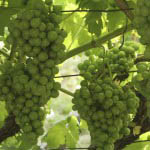 Wine making in Italy