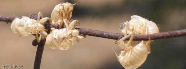 Cicadas: Noise, myth and biology