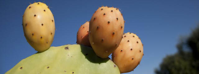 Eating prickly pears