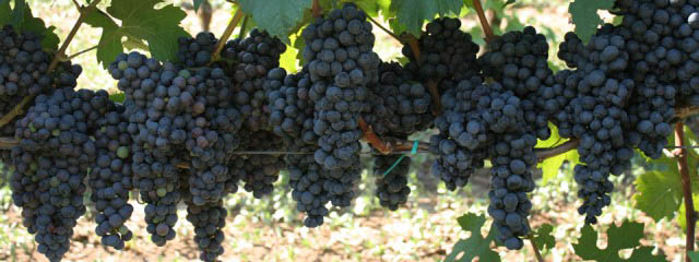 Grape harvest in Puglia
