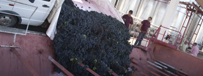 Primitivo vinification no longer involves stomping grapes